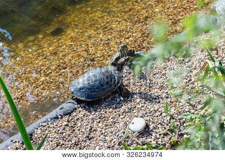 Turtles Red Eared Terrapin Trachemys Scripta Elegans Bask In The Sun At The Edge Of The Shore. Turtl