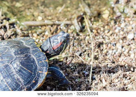 Head Of A Red Eared Terrapin Tortoise - Trachemys Scripta Elegans On The Shore Of A Pond Lake, Close