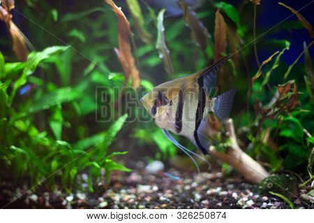 Angel Fish With Goldish Color Tone And Wide Black-n-white Stripes In Densely Planted Tropical Aquari