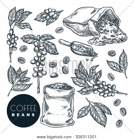 Raw Coffee Crop. Vector Hand Drawn Sketch Illustration. Coffee Berries On Branch And Beans In Sack,