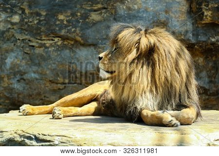Large, Powerful Male Lion Sits On A Tall Boulder At Sunset.
