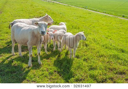 Sheep Family On A Dutch Dike