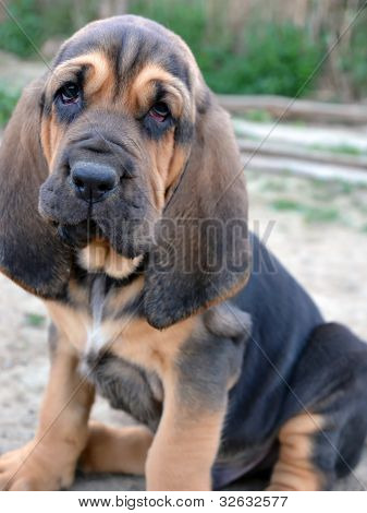 Photo Of Bloodhound Puppy Dog