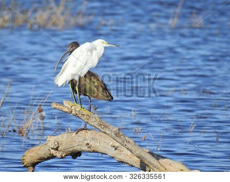 White Egret And A Glossy Ibis Perched Upon A Withered Log Emerging From The Marsh. Merced National W
