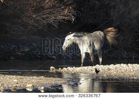 Wild Horse, Salt River, Desert Southwest, Mesa, Arizona.