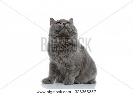 adorable british longhair cat with gray fur sitting and looking up curious against white studio background poster