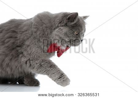 side view of a cute british longhair cat with red bow tie sitting ready to attack with one paw raised against white studio background poster