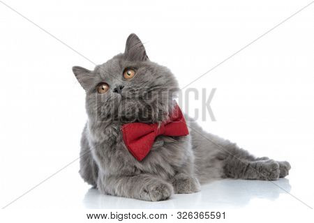 wonderful british longhair cat with red bow tie lying down and looking away with shiny eyes against white studio background poster