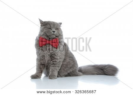 cute british longhair cat with red bow tie sitting with closed eyes and sleepy against white studio background poster