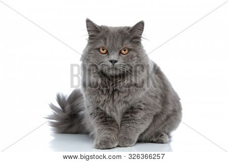 beautiful british longhair cat with gray fur lying down and staring at camera mad against white studio background