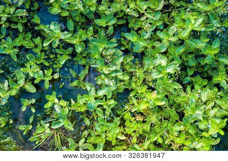 Top-down View of European Speedwell or Brooklime (Veronica Beccabunga), a Herb with Blue Flowers, Evergreen Leaves Growing in a Wet Area on the Margin of a Brook. Was Used as Remedy for Land Scurvy. poster