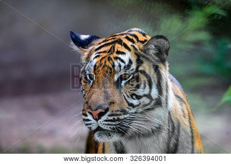 Sumatran Tiger, Panthera Tigris Sumatrae, Rare Tiger Subspecies That Inhabits The Indonesian Island