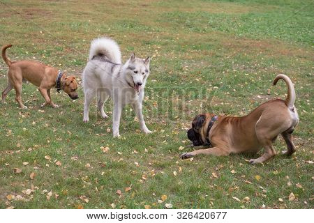 Cute Siberian Husky, Bullmastiff Puppy And Amstaff Puppy Are Playing In The Autumn Park. Pet Animals