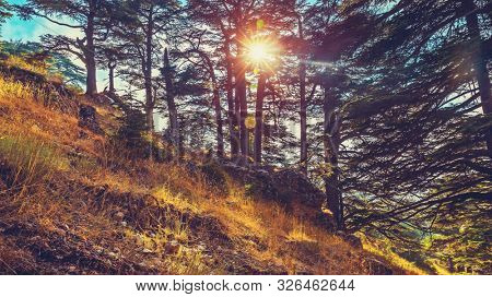 Cedars of God, beautiful landscape of a cedars tree forest in the mountain, endangered kind of evergreen trees, National park reserve, World Heritage Site, Lebanon