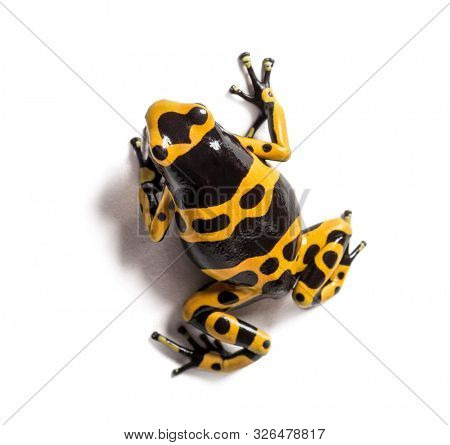 Top view of a Yellow-banded poison dart frog, Dendrobates leucomelas, Isolated poster