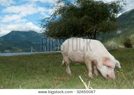 Pig In The Field