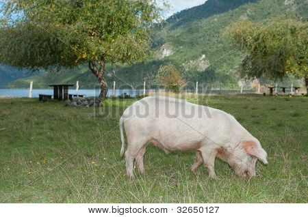 Fatten The Pig For The Picnic