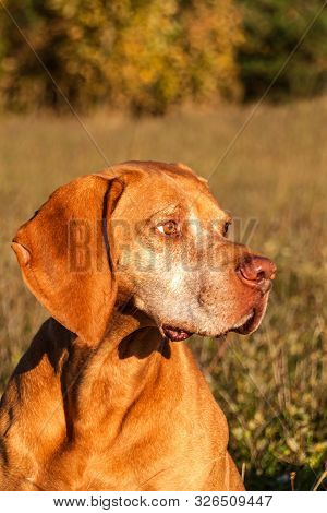 Hound. Gun Dog. Hungarian Pointer Vizsla. Dog Head. Portrait Of A Dog.