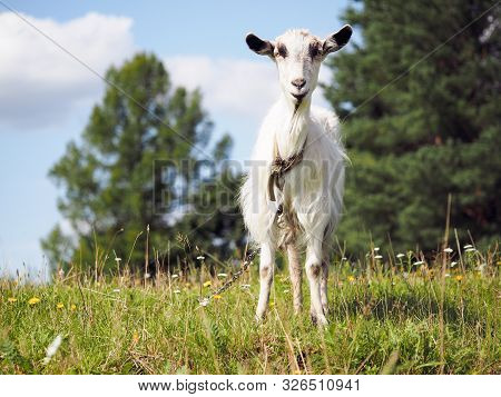 Goat Grazing In The Field. Portrait Of Hornless Goat