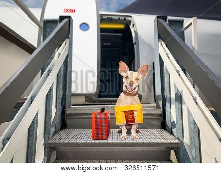 Chihuahua   Dog  With Luggage Bag Ready To Travel As Pet In Cabin In Plane Or Airplane As A Passange
