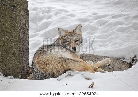 müde Kojote