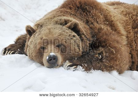 Cansado grizzly bear