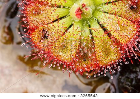 Drosera Tokaiensis fleischfressende Pflanze