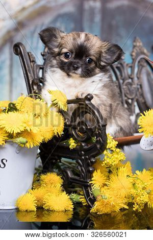 Chihuahua Longhair puppies and spring dandelion flowers poster