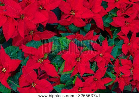 Poinsettia Flower. Christmas Symbol - Red Poinsettia As A Background