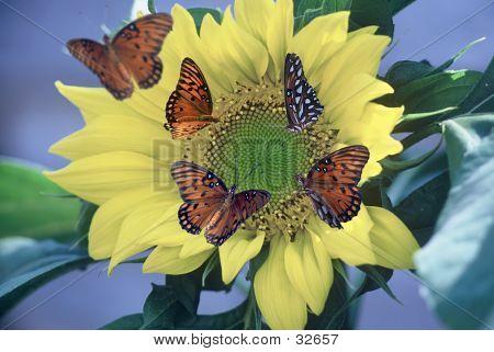 GulfFritillaryies On Sunflower