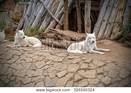 Arctic Wolf Or Polar White Wolf, Is A Subspecies Of The Gray Wolf, A Mammal Of The Family Canidae. A