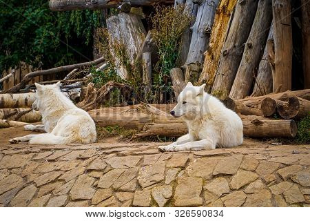 Arctic Wolf Or Polar White Wolf, Is A Subspecies Of The Gray Wolf. The Duo Of The Wolves In The Zoo