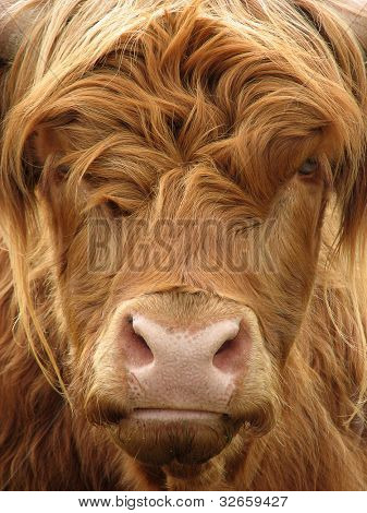 Telephoto view of the face of a highland cow