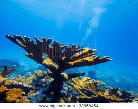 Elkhorn Coral (acropora Palmata) On Reef