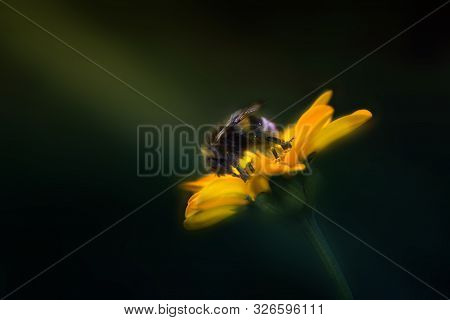 Bumblebee On A Beautiful Summer Yellow Flower. Bumblebee Gathering Nectar From A Yellow Flower.