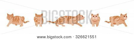 Ginger Tabby Cat Sneaking And Stalking. Active Healthy Kitten With Orange, Red, Yellow-colored Fur,