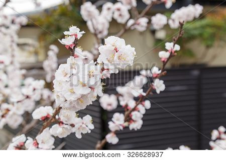 Sakura or Cherry Blossom or Japanese Cherry flower Order name is Rosales, Family is Rosaceae blooming in the garden. poster