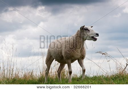 Bleating Sheep