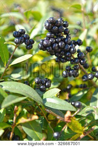The Fruits Of The Common Privet (ligustrum Vulgare L.)