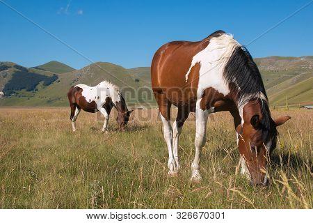Herd Of Wild Grazing Horses In The Pian Grande, Umbria, National Park Of Monti Sibillini