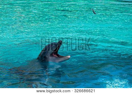 Playful Dolphin Catching A Fish From The Air