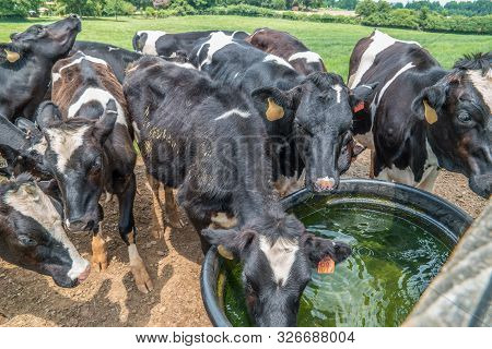 poster of A herd of cows drinking cold water together at the trough outdoors on a farm on a sunny hot day in summer