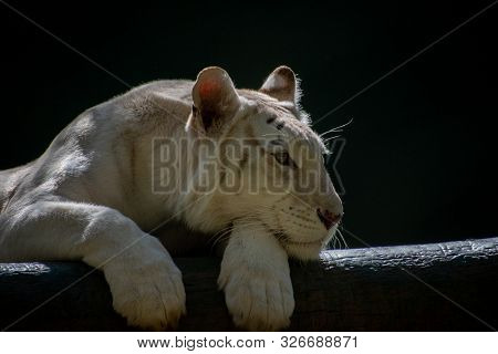 White Lion Relaxing In The Sun Across A Log