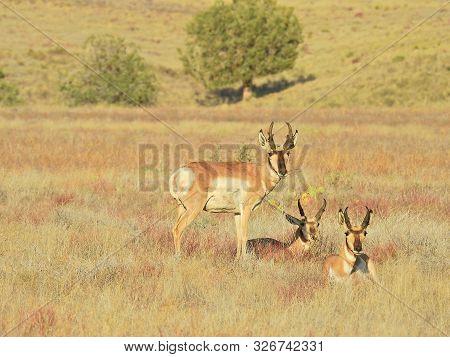 Pronghorn, Antelope, Prescott Valley, Yavapai County, Arizona.