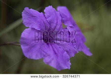 A Beautiful Ruellia Simplex Flowers Close-up Picture