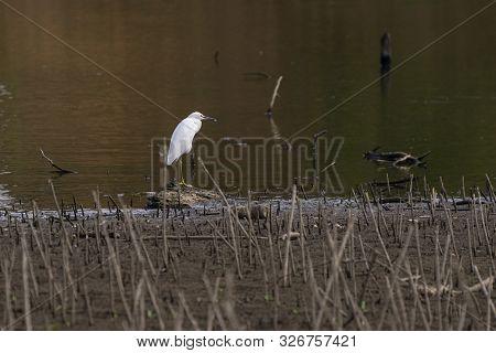 Great White Egret Standing On Log