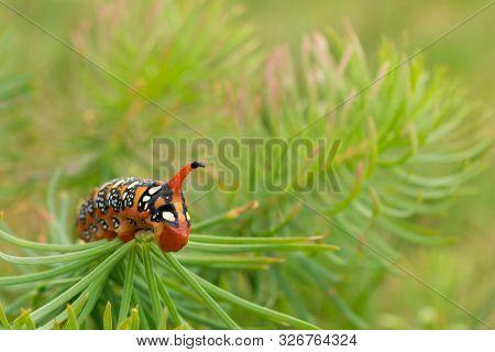 Close Up View Of The Head Of An Spurge Hawk-moth (hyles Euphorbiae) Larva Caterpillar Feeding On Lea