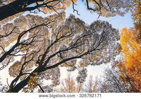 Looking Up At Tall Trees In The Park On An Autumn Day. Warm Light, Yellow Foliage, Capillary Like Si
