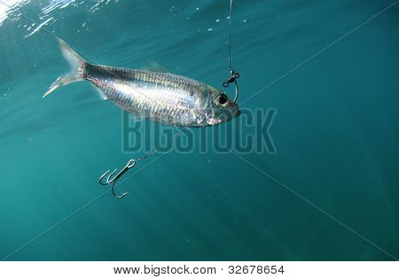 Pilchard fish bait on hook