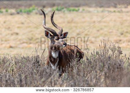 Majestic Male Of Endemic Very Rare Mountain Nyala, Tragelaphus Buxtoni, Big Antelope In Bale Mountai